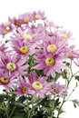 Chrysanthemum flowers chrysanthemum indicum Stock Photography