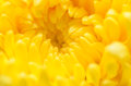 Chrysanthemum Flowers macro Royalty Free Stock Images