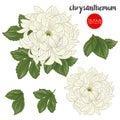 Chrysanthemum flowers. Stock line vector illustration botanic fl