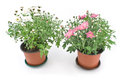 Chrysanthemum flowers in two pots Stock Image