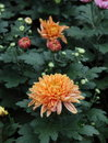Chrysanthemum this graph is belongs to the composite family is one of china s ten famous flowersof the three is one Stock Image