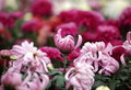 Chrysanthemum this graph is belongs to the composite family is one of china s ten famous flowersof the three is one Stock Photo