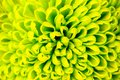 Chrysanthemum Green Flower Clo...
