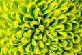 Chrysanthemum green flower closeup, abstract background Royalty Free Stock Photo