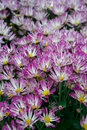 Chrysanthemum is a kind of autumn flowers and there are many different kinds of colour Stock Photo