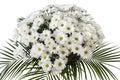 Chrysanthemum maximum Royalty Free Stock Image