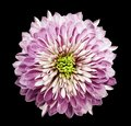 Chrysanthemum naturally pink. Flower on isolated black background with clipping path without shadows. Close-up. For design. Royalty Free Stock Photo