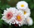 Chrysanthemum in nature fully bloomed Royalty Free Stock Photos