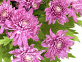 Chrysanthemum pink flowers on white Royalty Free Stock Photography