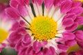 Chrysanthemum Series 10 Royalty Free Stock Photo