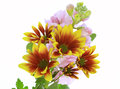 Chrysanthemum and stock pictured in a whitebackground Stock Photo