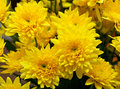 Chrysanthemum yellow golden daisy happy and sun Stock Photography