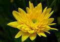 Chrysanthemum yellow golden daisy happy and sun Stock Photos