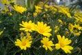 Chrysanthemum yellow wild flower very beautiful Royalty Free Stock Image