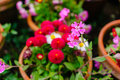 Chrysanthemums colorful in a flowerpot Royalty Free Stock Image