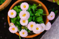 Chrysanthemums colorful in a flowerpot Stock Images