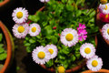 Chrysanthemums colorful in a flowerpot Royalty Free Stock Photography