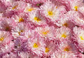 Chrysanthemums flowerbed with plenty of Stock Photography
