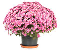Chrysanthemums in flowerpot Stock Images