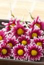 Chrysanthemums pink flower Royalty Free Stock Photos
