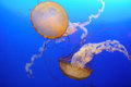 Chrysaora fuscescens jellyfish Obraz Royalty Free