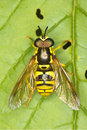 Chrysotoxum verralli / hoverfly on a green leaf Stock Photos
