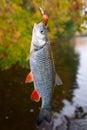 Chub caught on a plastic bait autumn scenics against foliage Stock Photos