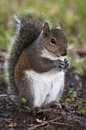 Chubby grey squirrel eating peanut sitting brown twigs green background Royalty Free Stock Photos