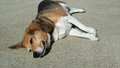 Chubby senior beagle dog lays in the sun on the driveway Royalty Free Stock Photo