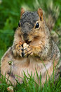 Chubby Squirrel Eating A Peanut Royalty Free Stock Image
