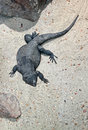 Chuckwalla black desert lizard sprawled on sand Stock Photos