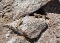 Chuckwalla Lizards on a rocky cliff
