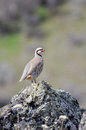 Chukar partridge posing on rock Stock Photo