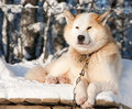 Chukchi husky dog Stock Photography
