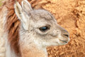 Chulengo face detailed view of baby guanaco s with mother s body in background Royalty Free Stock Photography