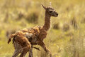 Chulengo just born baby guanaco standing in grass Stock Images