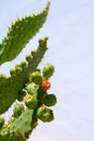 Chumbera nopal prickly pear fruits Stock Photography