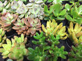 Chunky and formal succulents Royalty Free Stock Photo