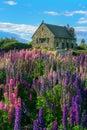 Church of the Good Shepherd and Lupine Field, Lake Tekapo Royalty Free Stock Photo