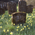 Churchyard with daffodils Royalty Free Stock Photo
