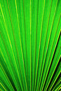 Chusan Palm Leaf section Stock Photos