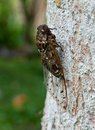 Cicada. Royalty Free Stock Photos