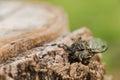 Cicada Royalty Free Stock Photo
