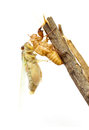 Cicada changing its skin Royalty Free Stock Photo