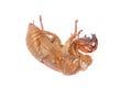 Cicada Insect Exoskeleton