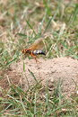 Cicada killer at burrow flying its entrance Stock Images