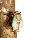 Cicada metamorphosis. Last molt - the transfor Stock Photo