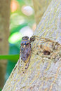 Cicada s wings are well developed with conspicuous veins Royalty Free Stock Photography