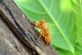 Cicada shell Royalty Free Stock Photo