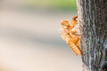 Cicada shell Royalty Free Stock Photo